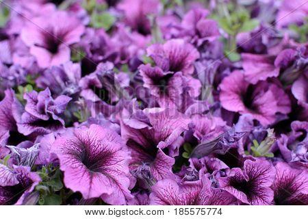 Background Surfinia hybrida petunia. Blossom Purple Flowers Background. Garden of petunia's flowers.
