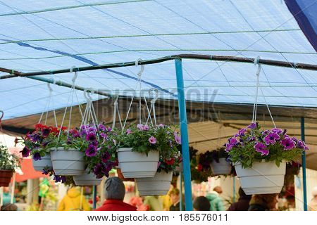 Sulfinias and petunias in hanging baskets on the market outdoors.