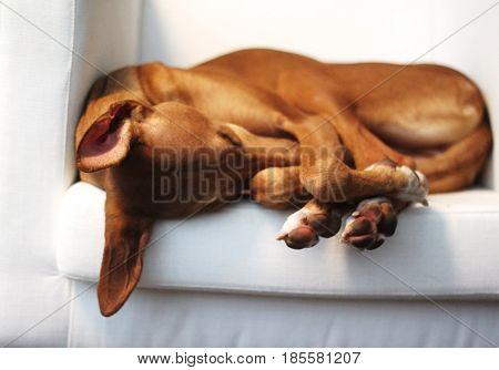 Spanish podenco canario sleeping on sofa, lazy dog