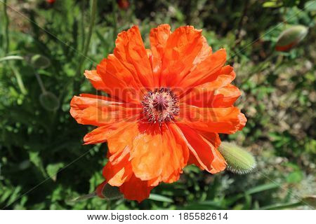 Lone scarlet poppy flower in a sunny day.