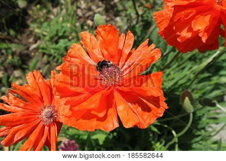 Scarlet poppy flowers with bumblebee in a sunny day.