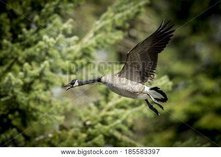 Goose taking flight in the air near Fernan Lake in Idaho takes flight.