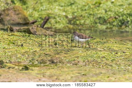 Common sandpiper (Actitis hypoleucos) on mud. Small brown and white wading bird in the family Scolopacidae moving north during spring passage