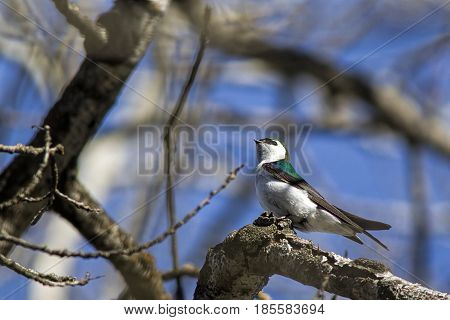 Cute little tree swallow perched on a branch in north Idaho.