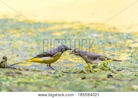 Grey wagtail (Motacilla cinerea) adult with fledgling. Colourful female bird in the family Motacillidae feeding invertebrates to hungry chick