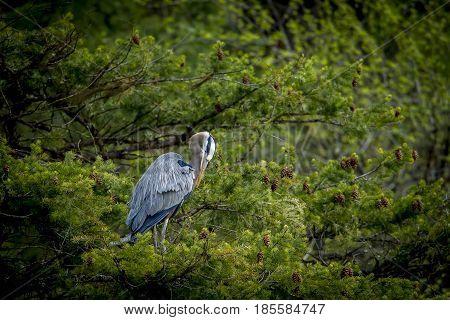 Heron in tree preens itself near Fernan Lake in Idaho.