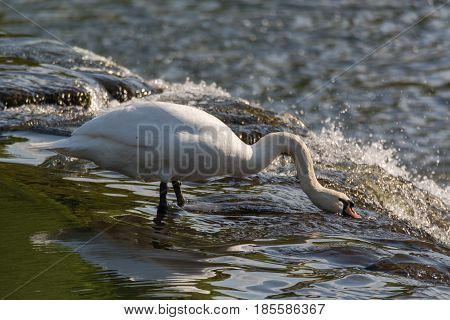 Mute swan (Cygnus olor) feeding on top of waterfall. Large male bird foraging for invertebrates in fast flowing water on weir of River Avon near Bath UK