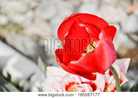 Close up of beautiful flowering red tulips in the garden in springtime. Colorful spring Background. Sunny day. Detail view of blooming tulip flowers at sunlight on spring time. Spring landscape