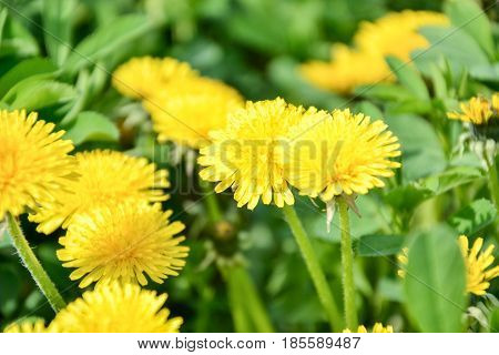 Close up of blooming yellow dandelion flowers (Taraxacum officinale) in garden on spring time. Detail of bright common dandelions in meadow at springtime. Used as a medical herb and food ingredient