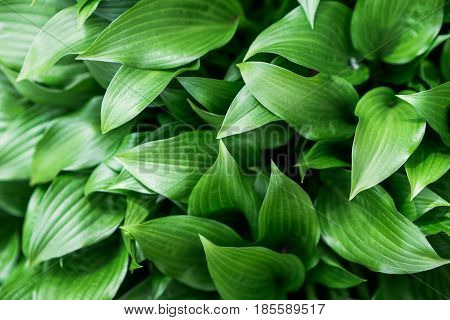 close up hosta leaves background abstract nature. wallpaper with copyspace
