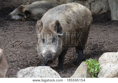 An adult boar standing in the mud