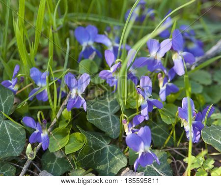 Many viola flowers in grass closely, horizontal.
