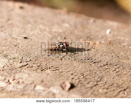 A Medium Fly Resting On The Tree Bark Motionless Outside In Forest Not Moving Close Up Macro With Hi