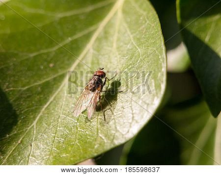 Medium Size Fly With Big Red Eyes Resting On A Leaf Not Moving Motionless Outside In Late Afternoon
