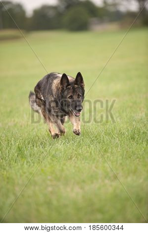 German shepherd running on meadow. Strong working dog.