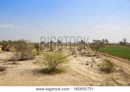Sandy Scrub And Wheat Field
