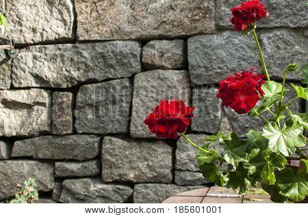 Blooming red geraniums granite dry masonry stone wall background