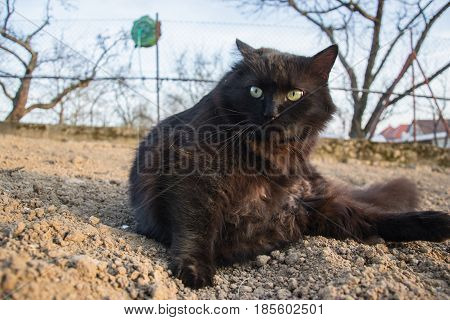 Portrait of thick long hair black Chantilly Tiffany cat relaxing in garden. Close up of fat tomcat with stunning big green eyes sitting on the ground. Tiffanie tom cat lying on soil at spring time