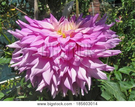 A PINK DAHLIA WITH GREEN LEAFED BACK GROUND