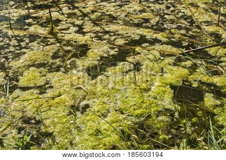 Swamp water surface with green marsh foam closeup in springtime sunny day as natural background