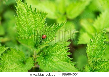 Red ladybug with black dots on a leaf of green nettle