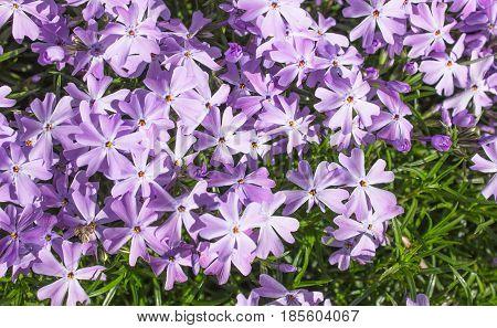 Creeping phlox (Phlox subulata) also known as the moss phlox. Flowering plant.