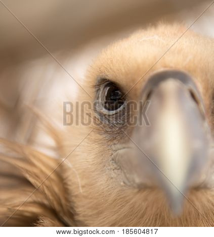 portrait of a vulture . Photo in nature