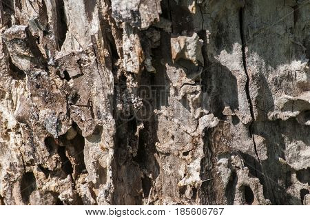 Surface of old log of walnut wood tree eaten by worms and insects closeup as natural background