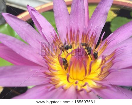 Lotus flower Blur Macro Bees sucking Nectar from Lotus Pollen Pink purple lotus plants float in tranquil river garden with sun light reflection in a pond blur Lotus flower and leaf