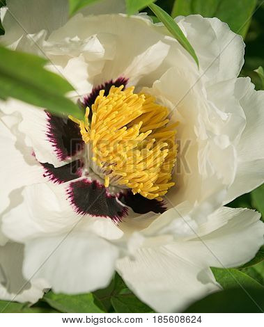 A blossoming bud of a white peony with a bright dark center and yellow stamens close-up