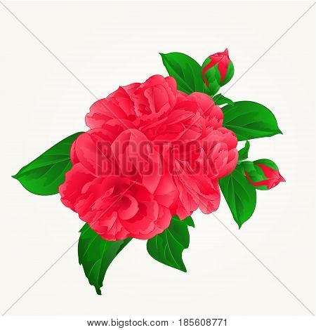 Camellia Japonica red flowers with buds vintage hand draw vector illustration