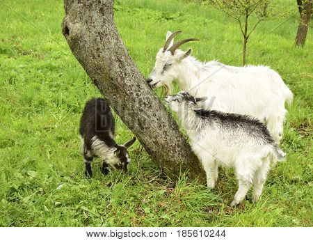 The goat and kids are in the village against the background of the nature.