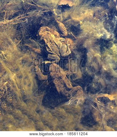 Two toad are mating in the pond sitting on top of each other a third toad wants to join. Latin name: Bufo bufo