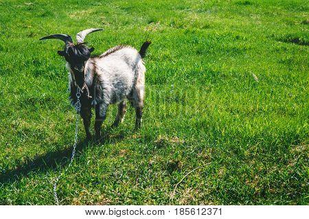 Beautiful goat on a leash grazes on a green meadow, copy space