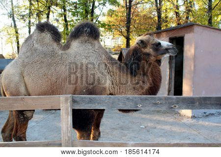 big brown camel isolated in the zoo