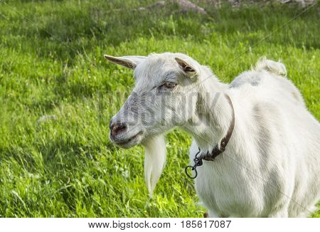 Muzzle goat on a background of green tra
