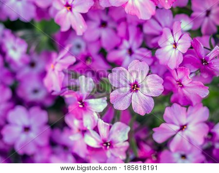 Bunch of Phlox subulata flowers in full blossom