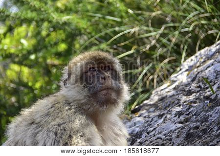 Close up of a Barbary Ape on a branch