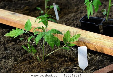 Planting a tomato seedlings in a greenhouse