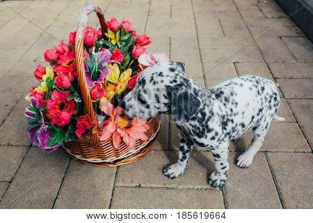 Dalmatian puppy sniffing flowers from the basket