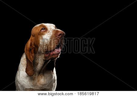 Portrait of Bracco Italiano Dog with Curious face Looking up on Isolated Black Background