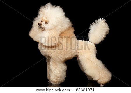 Groomed Red Mini Poodle Dog Standing on Isolated Black Background, side view