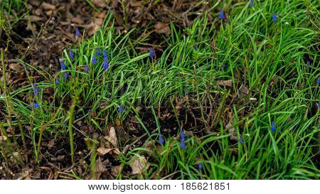 Young juicy spring grass and small muscari hyacinth blooming on a green meadow in the garden or in park, copy space, selective focus. Concept of spring, seasons.