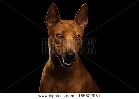 Portrait of Smirk Thai Ridgeback Dog Isolated on Black Background, Stare Smiling and laughing