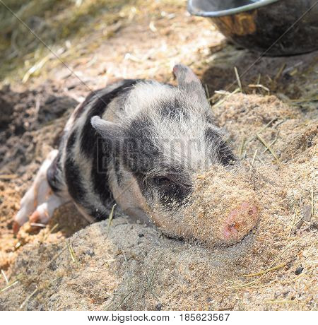 Portrait of a little funny piglet on a farm. Little funny piglet is resting on a farm. The Spotted pig lies in the straw and mud