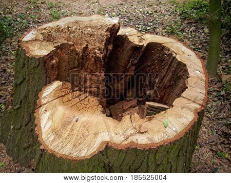 Cut tree stump with decay in the heartwood in the centre of the tree making the tree rotten and unsafe. Background of dead leaves.