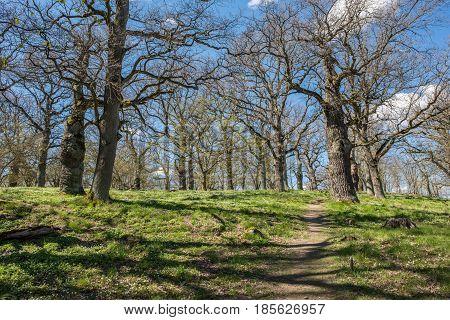 Oak grove during spring in Norrkoping, Sweden