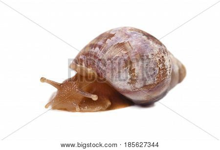 Big brown snail with horn-eyes side view on white background isolated