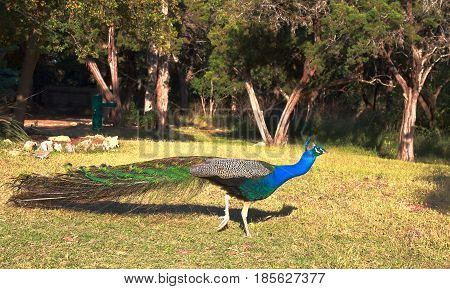 Beautiful peacock hiding his plumage. The photo was taken in Mayfield Park and Nature Preserve, Austin, Texas