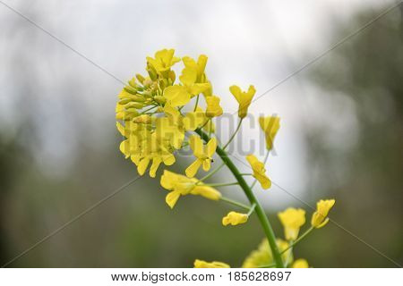 Field of yellow flowering oilseed rape in spring time (Brassica napus). Close up of blooming canola rapeseed plant landscape. Slovakia